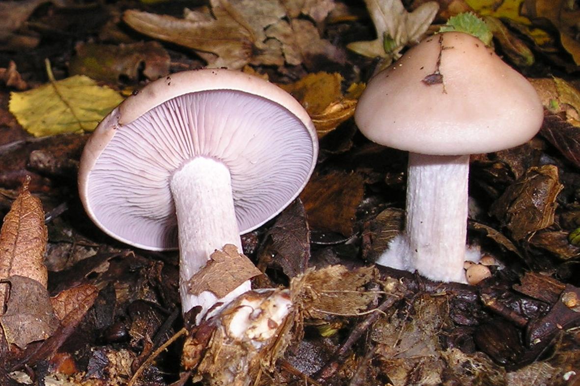 вариант электрические склизкие грибы фото и название нежные